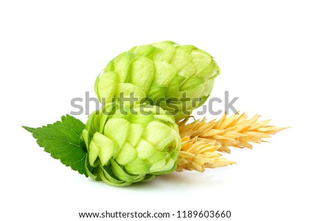 Fresh hop plant with ears of barley isolated closeup on white background. #1189603660