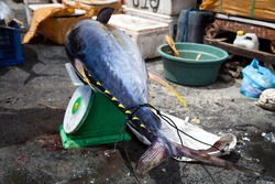 Fresh huge big 40 kg. tuna fish lying on the scales near fish market on the tropical island Bali / Seafood at the fish market / Indonesia, Bali