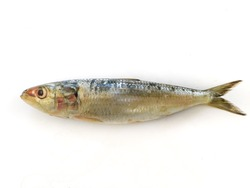 Fresh Indian oil sardine (Sardinella longiceps) Isolated on White Background.