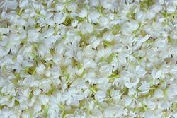 Fresh  Jasmine flower background