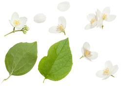 Fresh Jasmine flowers isolated on white