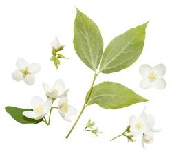 Fresh Jasmine flowers isolated on white. Jasmine blossom on white vackground