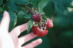 Fresh juicy berries (raspberry) on a bush. Infinity bokeh, vivid green colour. Summer Viber. Girl's hand handling a branch with berries. Manual focus.