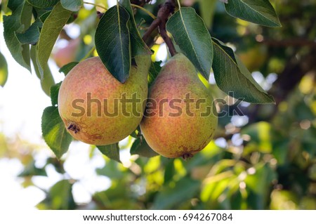 Fresh juicy pears on pear tree branch. Organic pears in natural environment. Crop of pears in summer garden