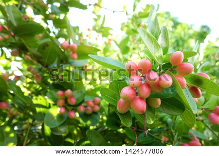 "Fresh ""Karanda"" or ""Carunda"" fruits have a lot of vitamin C and have properties as a herb. These fruits have sour taste sour and a little bit bitter, an ellipse shape, pink skin color."
