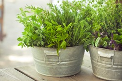 Fresh kitchen garden herbs in a galvanic bucket