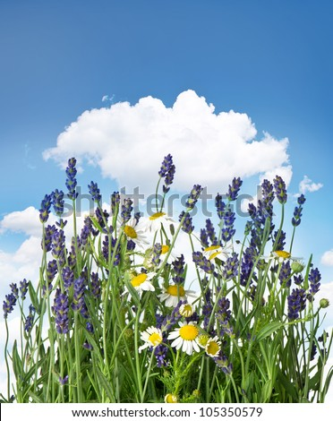 fresh lavender and chamomile plants over cloudy blue sky