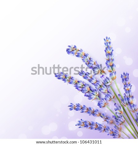 Fresh lavender flowers border, little posy of aromatic medicinal herb, fresh plant of purple flower, spa aromatherapy, organic floral branch isolated on white background - stock photo