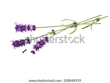 fresh lavender flowers over white background