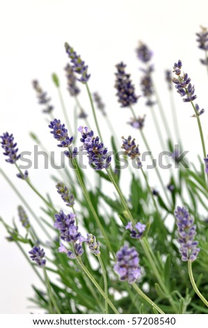 Fresh lavender, isolated on white background