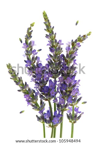 fresh lavender plant flowers over white background
