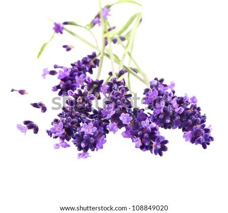 fresh lavender plant flowers over white background - stock photo