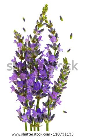 fresh lavender plant flowers over white background