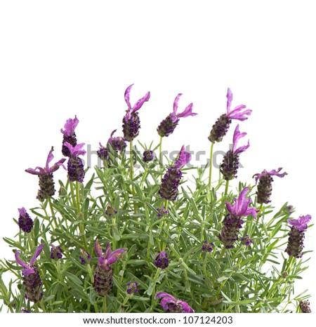 fresh lavender plant over white background