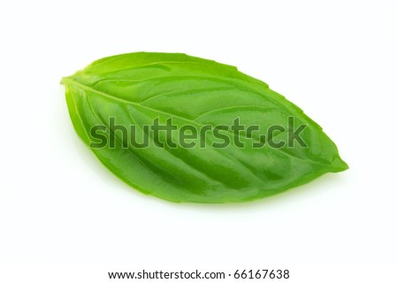 Fresh leaf of basil