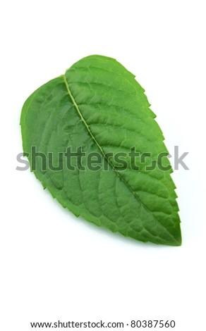 Fresh leaf of mint