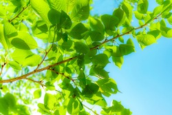 Fresh leaves and blue sky,  brightly colored natural backgrounds