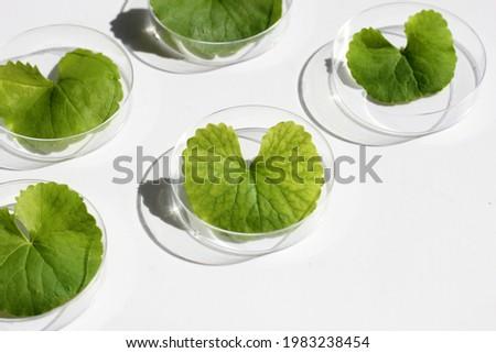 Fresh leaves of gotu kola in petri dishes on white background. Zdjęcia stock ©
