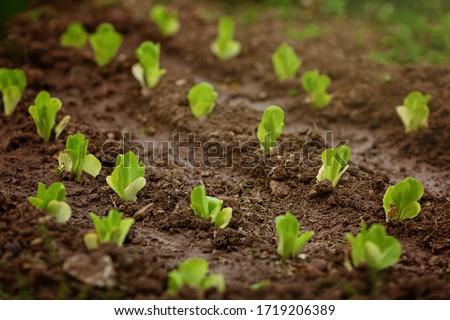 Fresh leaves of green lettuce salad growing in soil in garden. Fresh green lettuce growing in vegetable garden. Home organic gardening in Cyprus Foto stock ©