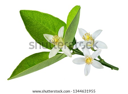 Fresh lemon flover isolated on white background with clipping path