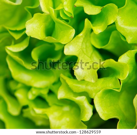 Fresh lettuce as a vegetable background