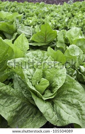 Fresh Lettuce in a Vegetable Garden