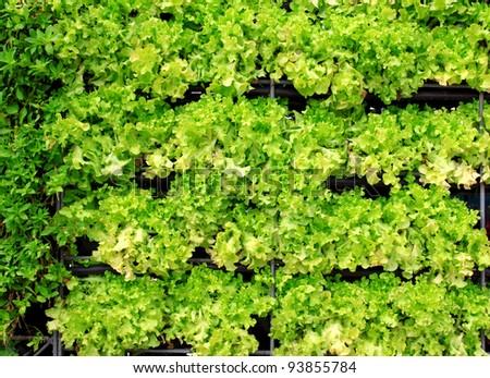 fresh lettuce salad texture
