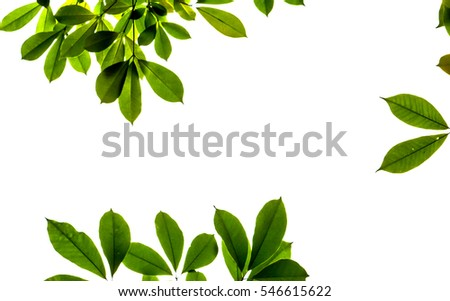 Fresh light green tree leave isolated on white background