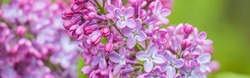 Fresh lilac flowers on natural green background, macro. Beautiful Wide Angle nature spring background with lilac flowers, soft focus. Panoramic floral Wallpaper or Web banner with Copy Space