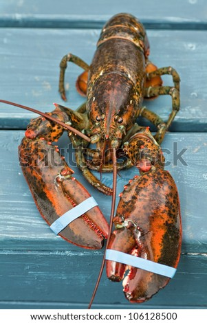 Fresh live uncooked lobster with banded claws.