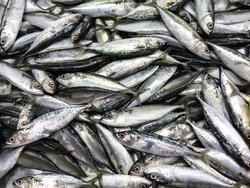 Fresh mackerel fish in market , Sea fish mackerel pile top view.
