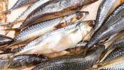 Fresh mackerel fish (Scomber scrombrus) on ice