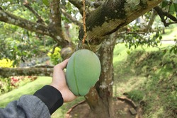 Fresh mangoes hang on the tree ready to be harvested. fruit plantations in a very fertile tropical climate. hands holding mangoes. green mango with a little red mixture on the peel