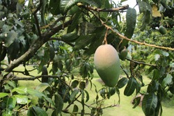 Fresh mangoes hang on the tree ready to be harvested. fruit plantations in a very fertile tropical climate. green mango with a little red mixture on the peel