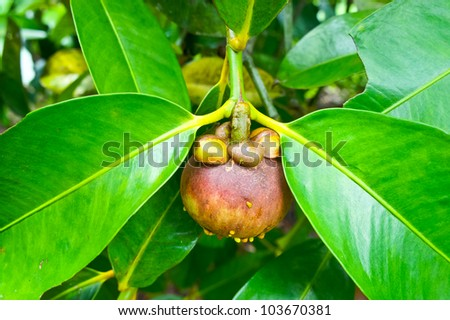 Fresh mangosteen on tree,Thailand