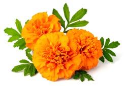 fresh marigold flowers isolated on white background