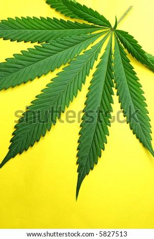 fresh Marijuana leaf photographed against yellow background