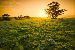 Fresh meadow sunrise in the Clare Valley