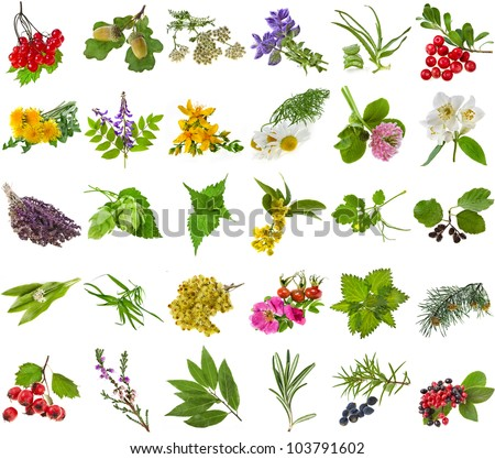 Fresh medicinal  aromatic and culinary herbs, leaves, berries, plant, flowers - collection set isolated on white background
