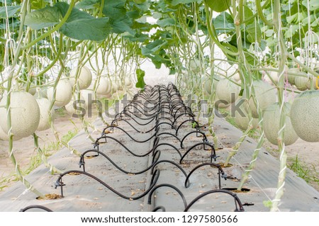 Fresh melons or green melons or cantaloupe melons plants growing in greenhouse supported by string melon nets. - Image