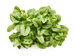 Fresh micro green sorrel leaves. Red veined sorrel. Top view.