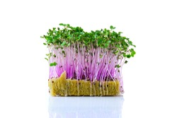 Fresh microgreens. Sprouts of kohlrabi isolated on white.
