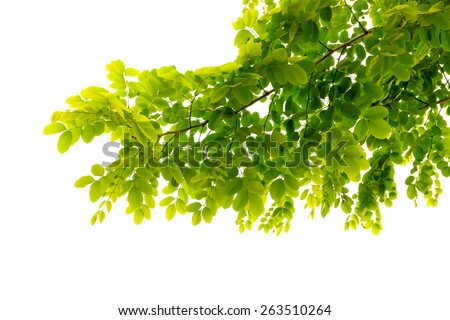 fresh mild early growth green leaves and branches on white background #263510264