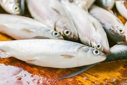 fresh milkfish cathed and landed in philippines