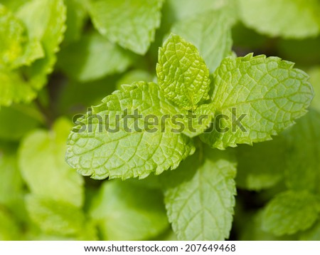 Fresh mint herb growing on the garden