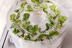 Fresh mint is dried white food dehydrator tray on table. Electric drier, ealthy vegetarian vegan concept, fruit diet. special tool for drying foods and herbs