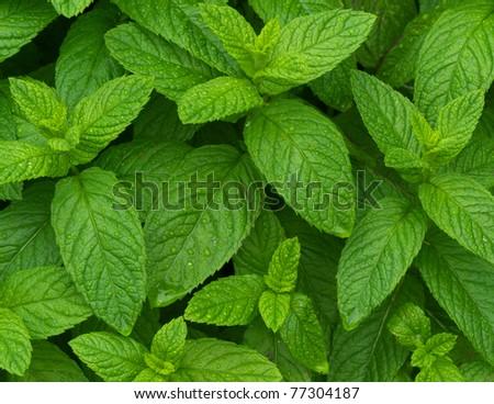 Fresh mint leaves after rain