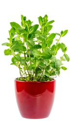 Fresh mint plant in a ceramic pot isolated on white