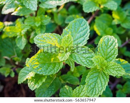 fresh mints leaves in the garden