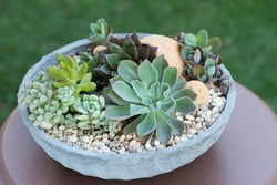 Fresh mix succulent plants arrangement in a low round cement pot with soil covered by decorative pebbles displayed on wooden table. Daylight at outdoor garden with green grass background.
